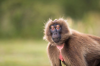 Gelada female eyebrow flashing warning behavior (Theropithecus gelada), Simien Mountains National Park, Ethiopia.