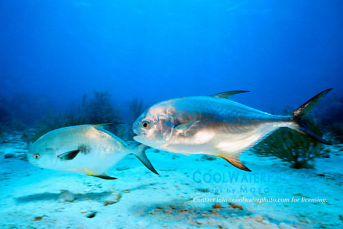 courting pair of permit, .Trachinotus falcatus, .South Elbow, Key Largo, Florida  .Keys National Marine Sanctuary (Atlantic)