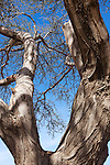 Trunk and branches of a Sahara acacia tree (Acacia raddiana) in the Sahara desert.