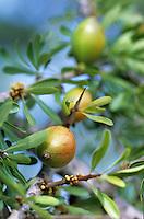 frique/Maghreb/Maroc/Env d'Essaouira : Les fruits d'Arganier qui servent à faire l'huile d'Argan