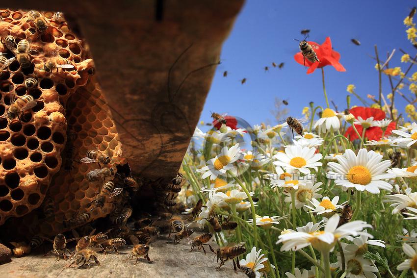 From the flower to the hive, the bees transport nectar and pollen to store them in the wax cells inside the hive.///De la ruche aux fleurs, les abeilles transportent nectar et pollen pour les stocker dans les alvéoles de cire à l'intérieur de la ruche.