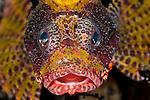 Yellow Shortfin lionfish (Dendrochirus brachypterus) face.