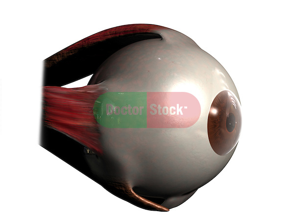 Eye Muscles; this 3d medical image features a detailed lateral oblique view of the muscles of the eye.