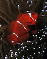 Spine-cheek Anemonefish - (Premnas biaculeatus). AKA -Spinecheek Clownfish, Spined-cheeked Anemonefish, Two Spine Cheek Anemonefish, Maroon Anemonefish and Maroon Clownfish.