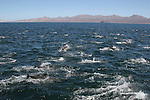 common dolphins in the San Jose Channel of the Gulf of California