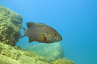 Smallmouth Bass (Lake Michigan)<br />