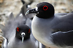 South America, Ecuador, Galapagos Islands. Galapagos Gulls on Genovese Island.