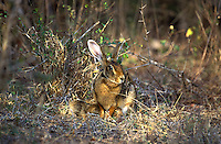 A black-naped hare suckles it's young in a glade. These animals are primarily nocturnal but can be seen out in the daytime in Protected areas of the country.