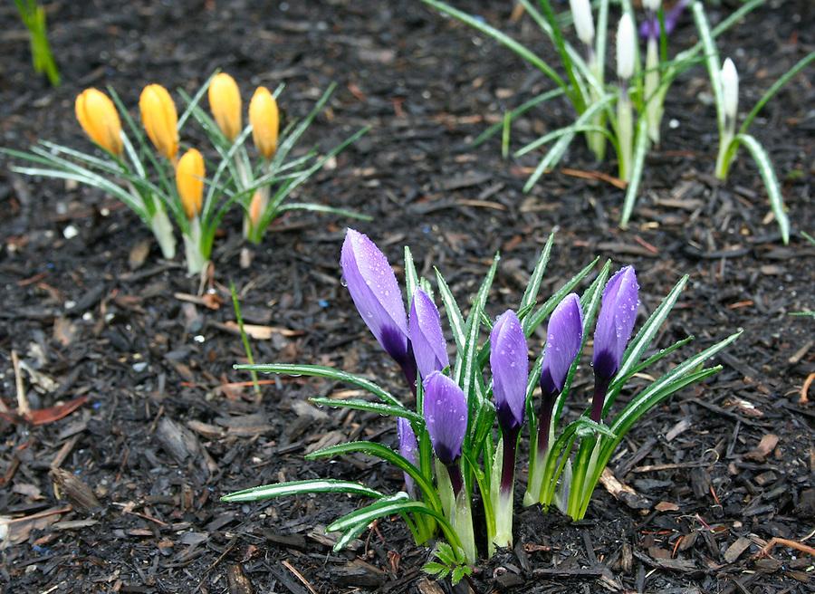 Purple yellow crocus blooms in garden bed