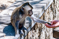 Bali, Badung, Uluwatu. Feeding a monkey. Keep an eye on your belongings!