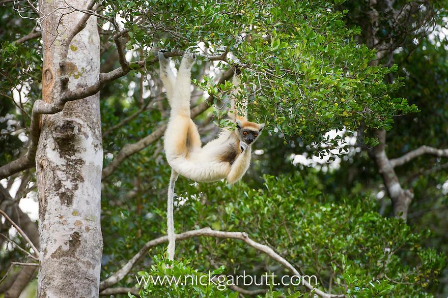 Golden-crowned Sifaka or Tattersall's Sifaka (Propithecus tattersalli) forests near Andranotsimaty, Daraina, north east Madagascar. IUCN: Critically Endangered.