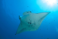 Manta ray swimming with fishing line around her right cephalic fin, Maui Hawaii.