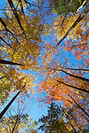 Autumn canopy along the Middle Prong Trail, Tremont