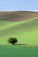 Lonely tree in field of wheat, Palouse area, Washington.