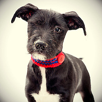 Black and white small dog awaits adoption at the Sacramento city animal shelter