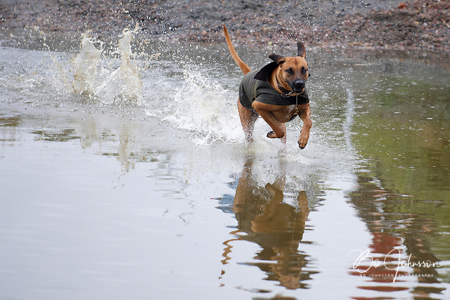 A happy run away dog in the water complex during the  FEI Eventing CCI** cross country.<br /> Luckily the fugitive dog was captured by the embarassed owner well before next competitor arrived.<br /> Eventing in Ribersborg, Malmo, Sweden.<br /> August 2010.