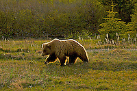 A grizzly bear is outlined by its blond guard hairs, Like Clark National Park, Alaska