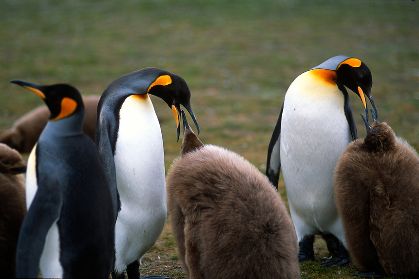 Parent king penguins feed chicks at a rookery on the Falkland Islands.