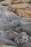 Molting elephant seal females and juveniles