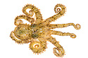 Common Octopus {Octopus vulgaris} photographed in mobile field studo, La Gomera, Canary Islands, March.
