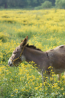 Lone donkey in field of golden rod.
