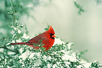 Male cardinal on cedar branch with snowy background