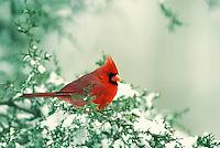 Male cardinal on cedar branch with snowy background