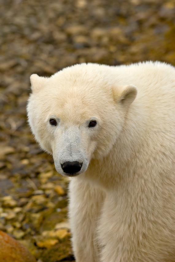 A polar bear, along Hudson Bay, near Churchill, Manitoba, Canada