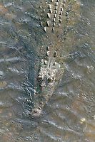 American Crocodile, Carara, Costa Rica, Central America