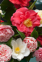 Camellia flowers in mixed varieties, striped, red, white