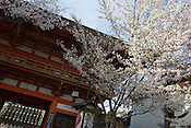 Yasaka Shrine during the sakura / cherry blossom season, in Kyoto, Japan on Sunday 16th April 2012.