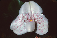 Paphiopedilum Gemini, orchid hybrid of Conco-bellatulum x John Jack, 1998, tropical lady slipper, white flower with red spots, pretty