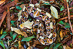 The painterly patterns of the Gaboon Viper in Arusha, Tanzania