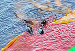 "After bleeding captured dolphins with long steel implements, a fisheries worker guides the carcass of what appears to be pilot whales, which are members of the dolphin family, at ""killer cove"" in Taiji, Japan on 10 September  2009. Sept. 10 marked the first catch of the dolphin cull season during which around 150 dolphins were brought into the cove. A total of around 20,000 dolphins will be killed throughout Japan during the six-month season, according to the Japan Fisheries Agency..Photographer: Robert Gilhooly."
