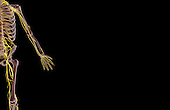 An anterior view of the nerve supply of the left upper limb.   Royalty Free