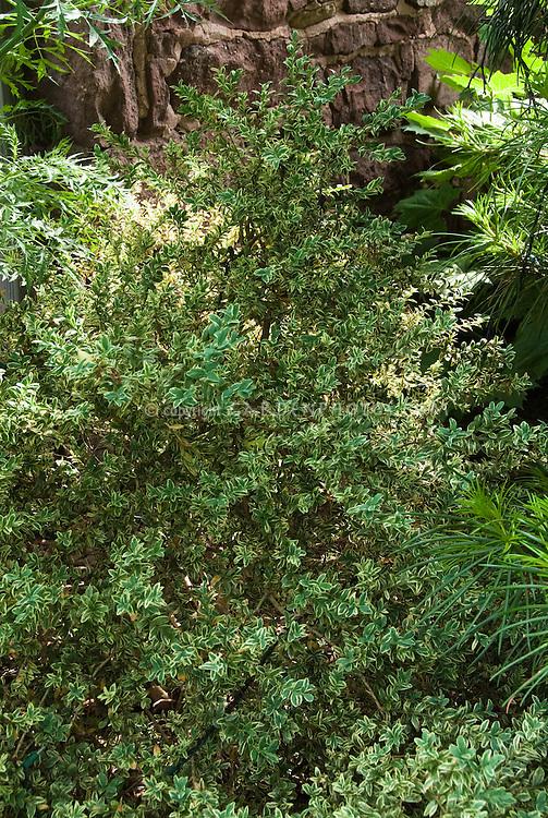 buxus sempervirens argenteo variegata plant flower. Black Bedroom Furniture Sets. Home Design Ideas