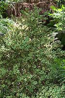 Buxus sempervirens Argenteo Variegata boxwood in shade garden spot