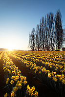 Poplar row and field of yellow daffodils at sunrise, Skagit Valley, Mount Vernon, Skagit County, Washington, USA