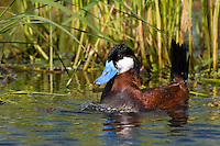 Ruddy Duck displaying on a small lake