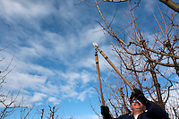 Andre Ramos, from Mattawa, Wash. prunes a cherry tree at Outwest Cherries in Mattawa, Washington on February 8, 2011.  Orchards line the Columbia River south of the Wanapum Dam.  (photo credit Karen Ducey)