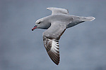 Also known as silver grey fulmar, Fulmarus glacialoides, with a drop of moisture hanging from its beak