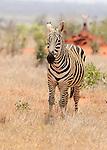 Zebras in the open landscape in Tsavo  East National Park, Kenya