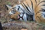 Bengal Tiger, Panthera tigris tigris, laying resting in forest, Bandhavgarh National Park.India....