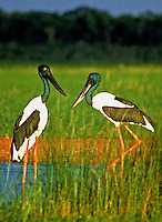 A male and female Jabiru  stork in the Yellow water area of Kakadu National Park, Northern Territory Australia
