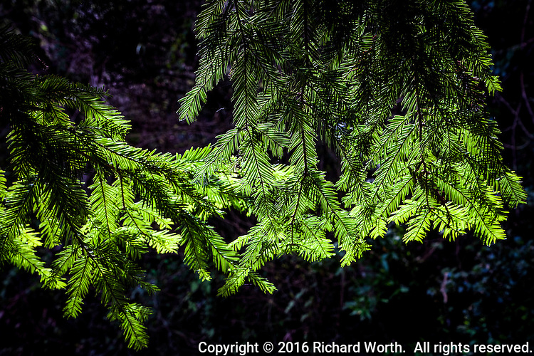 The leaves of a coastal redwood tree glow a brilliant green along a trail in Redwood Regional Park, Oakland, California.