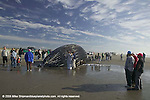 Washington, Pacific County, Klipsan Beach, Humpback Whale (Megaptera novaeangliae) that had died at sea washed up on shore<br />