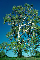 Sycamore tree in summer - the bones and the flair