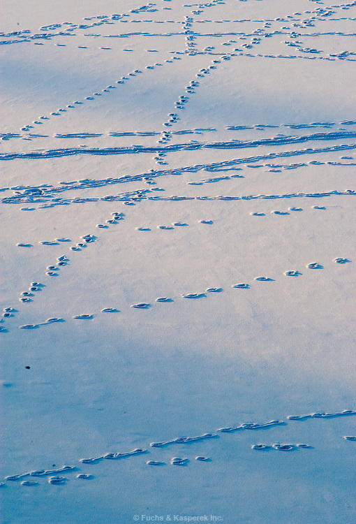 Tracks of animals can be seen on the frozen, snow-covered surface of Lake Erie.
