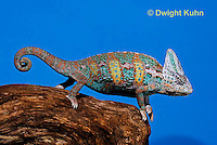 CH39-527z  Male Veiled Chameleon in display colors, Chamaeleo calyptratus