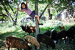 Vivian Ferrell dangles from a tree, while feeding the leaves to their sheep in Lincoln, CA May 13, 2009.